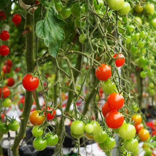 ミニトマト『ラブリーさくら』